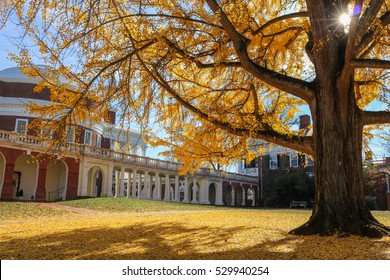 Ginkgo Tree at UVA