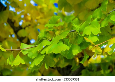 ginkgo tree with yellow leaves (Ginkgo biloba) in autumn,JAPAN