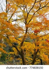 Ginkgo trees in Autumn,Japan
