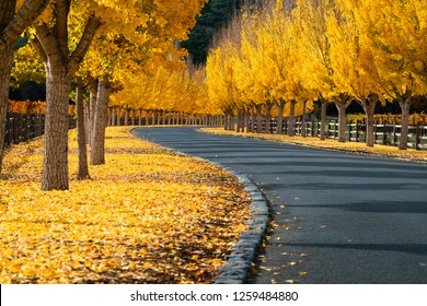 Ginkgo Trees Line The Road To A Winery in Napa Valley