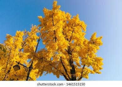 Ginkgo trees on blue sky. Yellow ginkgo leaves of autumn season.