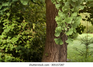 ginko biloba tree in a garden