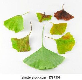 Ginko leaf - different colors