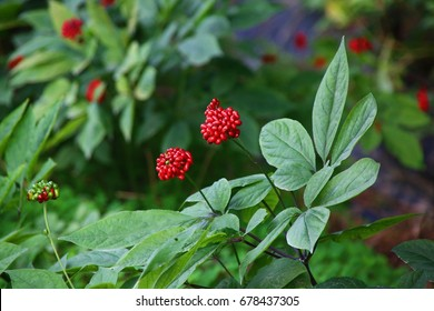 Ginseng berries