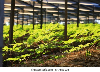 Ginseng-Feld