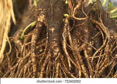 Ginseng , fresh ginseng root from the forest in Sapa Vietnam , October 7,2017