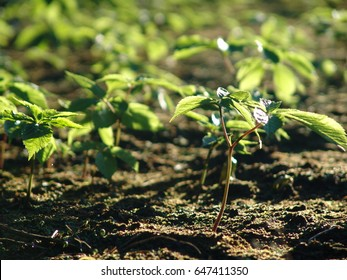 Ginseng plants on a field