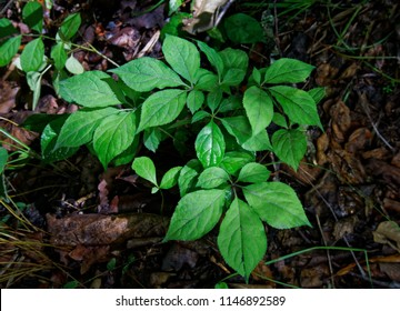Ginseng seedling. The sprouted seeds of ginseng (Panax ginseng)