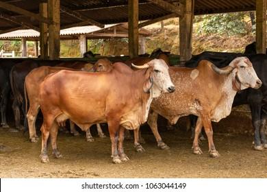 Gir cattle in Brazilian rural corral