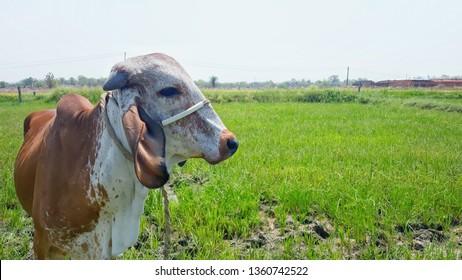 Gir cow HD villageindia