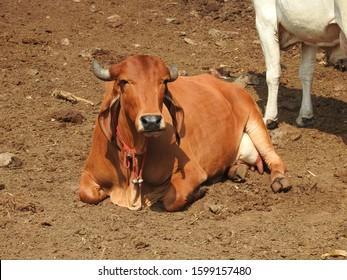 Gir cow resting at farm Maharashtra