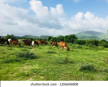 Gir cows eating natural Grass