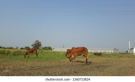 Gir cows in fields HD