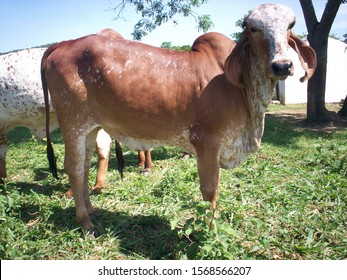 Gir or Gyr Cow originated in India. This breed is used to breed other cattle, such as Brahaman in the USA, and to improve the Red Sindhi and Sahiwal breed in India.