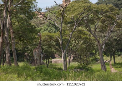Giraf in the green forest, Zimbabwe, Africa, animals, natural park, Zoo, fauna.