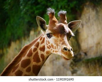 Girafe long cou