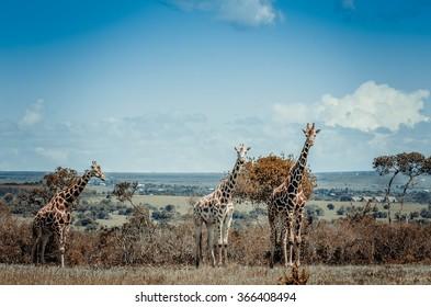 Giraffe in Aberdare, Kenya