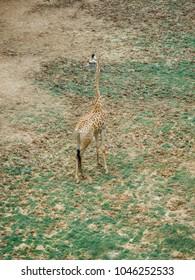 giraffe aerial view