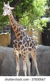 Giraffe from africa in barcelona zoo.