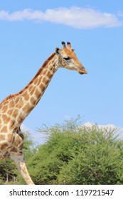 Giraffe - African antelope in her stride