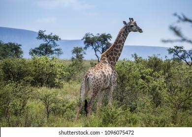 Giraffe in the African bush