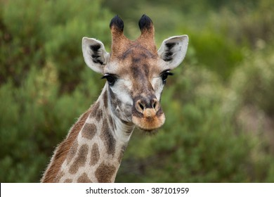 giraffe african mammal nature reserve south africa gondwana