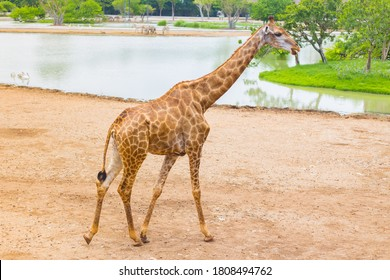 Giraffe is an African mammal, the tallest living terrestrial animal. It is walking beside the river.