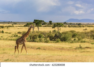 Giraffe at the African savannah