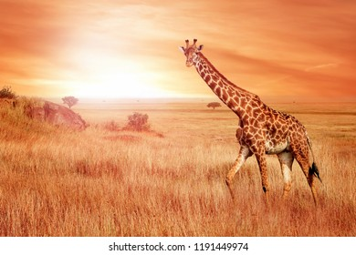 Giraffe in the African savannah at sunset. Wild nature of Africa.