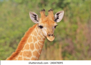 Giraffe - African Wildlife Background - Baby Animals and Innocent Beauty