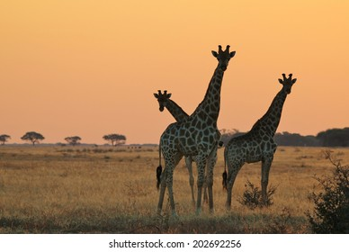 Giraffe - African Wildlife Background - Silhouette and Sunset Gold from Magnificent Nature