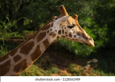 Giraffe against a green background