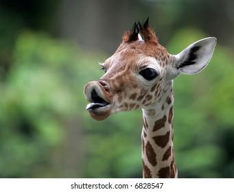 Giraffe against a greens background.