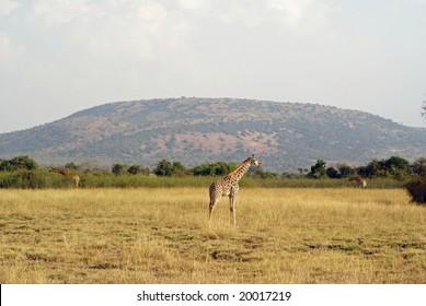 Giraffe in Akagera NP, Rwanda