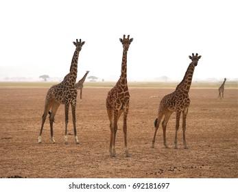 Giraffe at Amboseli, Kenya