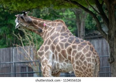 giraffe anesthetics in zoo