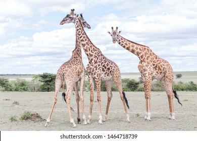 Giraffe animals in safari kenya
