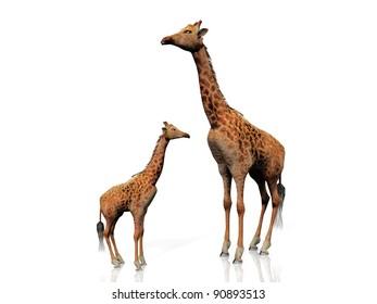 the giraffe and baby giraffe