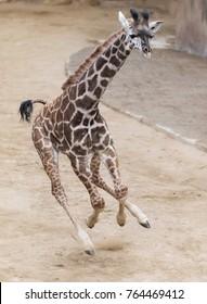 Giraffe baby bucking, running and frolicking