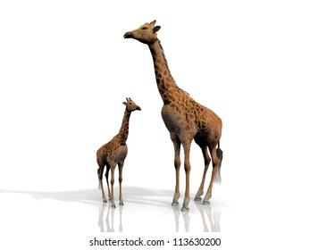 giraffe and baby giraffe on  white background
