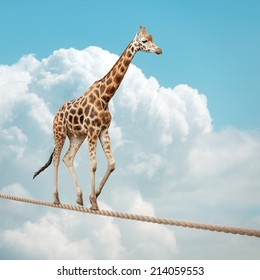 Giraffe balancing on a tightrope concept for risk, conquering adversity and achievement