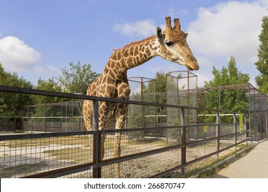 Giraffe behind the fence at the zoo.