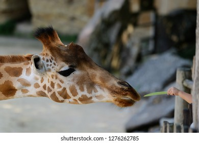 Giraffe being fed with leaves