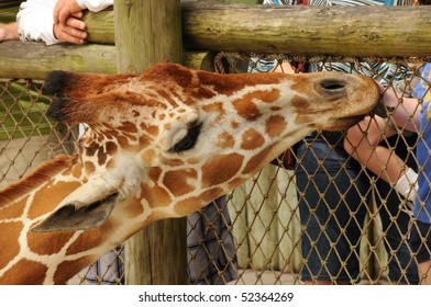 Giraffe being fed at the Zoo