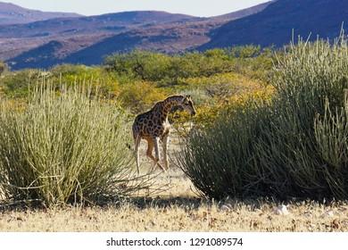 Giraffe bending over between two euphorbia bushes. Palmwag Concession, Damaraland, Namibia, Africa.