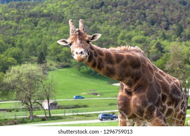 A giraffe bends down to look at visitors in a safari park with cars driving past in the distance.