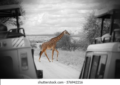 giraffe between two trucks