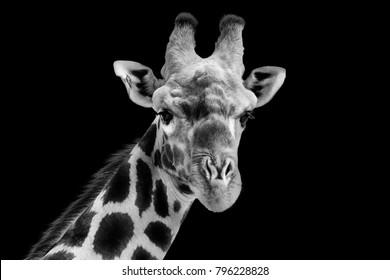 Giraffe in black and white on a dark background