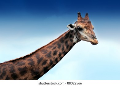 Giraffe and the blue sky
