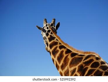 Giraffe with blue sky. Back view.